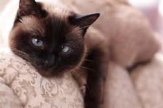 Siamese Cat is not as Aloof as She Seems