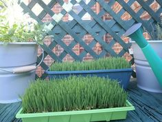 DIY Hamster Treat, 100% Certified Organic Wheat Grass Seed, Health Food stores, abt $2 lb. Need: Container, soil, seeds, natural light. /  Soak seeds overnight, rinse, then sprinkle a thick layer down on some soil and cover it with wet newspaper for a day or two. Remove newspaper & water daily...in a week a cheap, healthy hamster treat.
