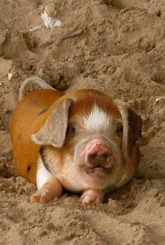 What an adorable little piggy! Baby Pigs, Pet Pigs, Farm Animals, Animals And Pets, Cute Animals, Beautiful Creatures, Animals Beautiful, Photo Animaliere, Teacup Pigs