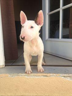 Cute #Bull #Terrier #puppy