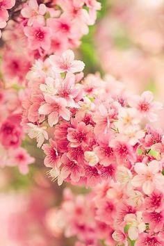 Japanese cherry blossoms, Sakura 桜 spring is coming Bloom, My Flower, Beautiful Flowers, Flowers Nature, Flower Art, Spring Flowers, Tropical Flowers, Planting Flowers, Flowers Garden