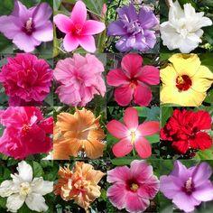 Hidden Valley Hibiscus Worldwide ~ Hibiscus Garden in the Philippines