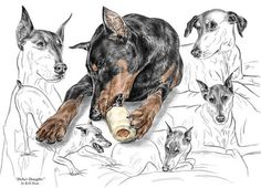 Dober-thoughts - Doberman Pinscher Montage Print Color Tinted Print By Kelli Swan thoughts, doberman pinscher, dog breed, art prints, montages, breed draw, montag print, dobermans, dobermann doberman