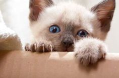 siamese cats pictures :this it what my cat Cleopatra looked like when she was little.Miss her so much.