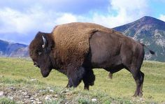 Genetically Pure Bison Found In Utah Gives Hope for Restoration of Iconic Species - Good News Network - Scientists have found a rare herd of American bison that have never interbred with cattle, offering hope of restoring the species.