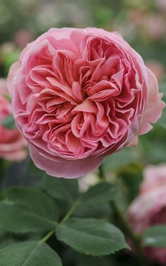 Rosa 'Boscobel' has a myrrh scent and salmon pink, rosette formed flowers held on an upright shrub.