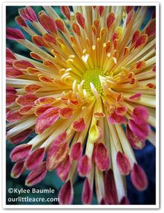 Matchstick Chrysanthemum