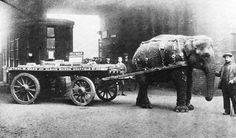 The legendary elephant Lizzie was purchased from Sedgwick's menagerie to replace horses conscripted by the military to serve in Europe in 1916. She transported machinery around Sheffield, England was stabled near the factory and could pull a weight that was usually shared out between three horses!