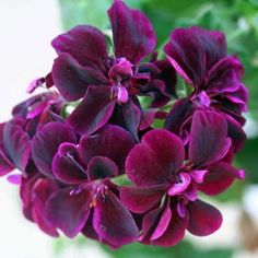 Geranium: Black Magic...new one on me and surely would love some!