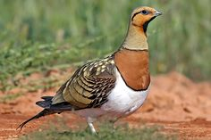 muniaelena: Foto - Pin-tailed Sandgrouse
