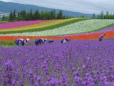Japan farm in Hokkaido Prefecture Nakafurano