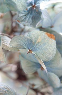 Blue Hydrangea petal detail