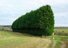 Leyland cypress hedge - Google Search