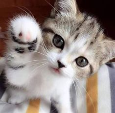 cats funny & beautiful cats for cats love! cats and kittens, beautiful cats, pretty cats pretty cats breeds pictures Kittens And Puppies, Cute Cats And Kittens, I Love Cats, Crazy Cats, Cool Cats, Kitty Cats, Cute Kitten Pics, Cutest Kittens Ever, Tiny Kitten