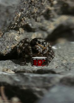 spider playing drums