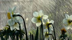 Narsissit nauttivat kevätsateesta, miksemme myös me?