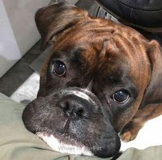 Boxer Dog Funny Face Momments . Follow Us to See more!