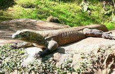 Planète GAIA -> Animal -> Reptiles -> Les Dragons de Komodo <-
