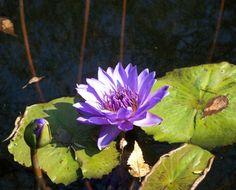 Water Lilies (Botanical Gardens, Birmingham, AL)