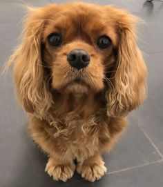 This Cavalier King Charles Spaniel reminds me so much of my own. I don't think a home is complete if you don't have a pet dog. Cavalier King Spaniel, Cavalier King Charles Dog, King Charles Spaniel, Spaniel Puppies, Dogs And Puppies, Doggies, Teacup Cats, Cat Whiskers, Cute Creatures