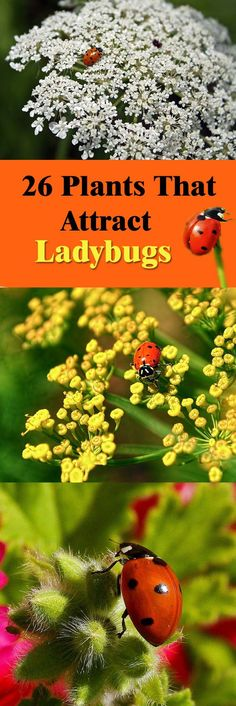 26 Plants that Attract Ladybugs is part of Butterfly garden Lady Bug - Learn about the plants that attract ladybugs, ladybugs are one of the most beneficial insects that much that you should invite them in your garden to repel pests away