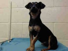 FRACTURED METACARPAL! PLEDGES AND RESCUE NEEDED A4814872 My name is Tessa and I'm an approximately 10 month old female chihuahua sh. I am not yet spayed. I have been at the Downey Animal Care Center since April 4, 2015. I am available on April 8, 2015. You can visit me at my temporary home at D712. https://www.facebook.com/photo.php?fbid=849543011792699&set=pb.100002110236304.-2207520000.1428695742.&type=3&theater