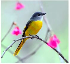The Grey-chinned Minivet (Pericrocotus solaris) is a species of bird in the Campephagidae family. It is found in Bangladesh, Bhutan, Cambodia, China, India, Indonesia, Laos, Malaysia, Myanmar, Nepal, Taiwan, Thailand, and Vietnam. Its natural habitat is subtropical or tropical moist lowland forests.by member John