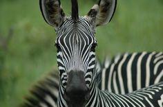 Tanzania zebras Zebras, Tanzania, Places, Animals, Animais, Animales, Animaux, Animal, Dieren