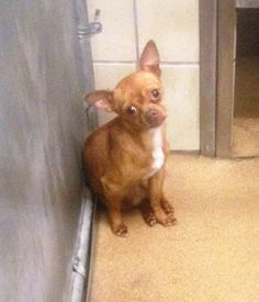 (( MEGA URGENT )) -They don't have a name for me, but I have an  ID#A187427.  I am an unaltered male, brown Chihuahua - Smooth Coated.  My age is unknown Garland shelter (HIGH KILL) https://www.facebook.com/GarlandAnimalShelterVolunteerPage/photos/a.232490403560889.1073741829.232454186897844/376057719204156/?type=3&theater PLS HELP SHARE/SAVE/RESCUE THIS SCARED, SAD BABY! URGENT!
