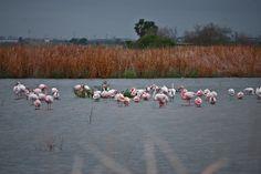Flamencos rosados en Marjal dels Moros #Sagunto