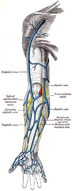 The superficial veins of the upper extremity.