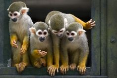 Four of seven new squirrel monkeys (Saimiri) are shown at a zoo in Dortmund, Germany. The animals, which normally live in the trees of South and Central America, came from the zoo in Halle (Saale), Germany.