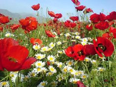 Photo 43 by Annes Page on Flowers Nature, Silk Flowers, Beautiful Flowers, Planting Poppies, Church Flowers, Flower Pictures, Flower Boxes, Red Poppies, Flower Art
