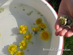"""Pull the head off a dandelion, peel the stem into several long sections, put the stem pieces in the water and they magically curl into tight spirals."""" viaBrimful Curiosities"""