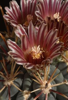 Now referred to Ancistrocactus uncinatus, this plant is well-known and easily recognizedunderit's old name matsonii. It has shortstoutsp...