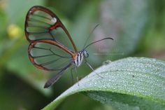 Transparent Butterfly (Episcauda hymenaea) a very particular species from our jungles.