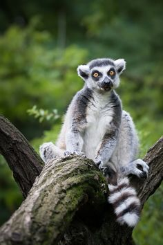 Ring-Tailed Lemur by Michaela Smidova on 500px