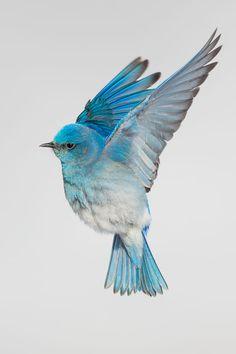 Mountain bluebird by Richard Goluch