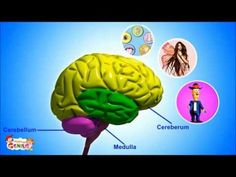 Our Brain - Human Anatomy -Lesson for Kids- School Science Video 2:07
