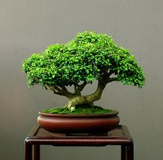 Buxus microphyllum