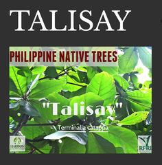 """TALISAY (Terminalia cattapa) Also called the Umbrella Tree or Almond Tree! Talisay is the 'only tree species that emulates autumn in tropical Philippines.'  """"Protect our trees, our forests- our source of life!""""  #PhilippineNativeTrees #NativeTrees#Rainforestation #KeepingitNative #ForestProtection  Source: Philippine Native Trees 101:Up Close and Personal Trees To Plant, Plant Leaves, Best Herbs To Grow, Umbrella Tree, All About Plants, Forest Plants, Window Planters, Wood Tree, Nature Animals"""