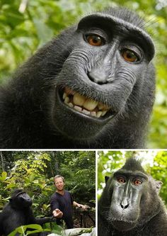 Crested Black Macaque is ready for his close-up