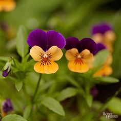 It's impossible to have a bad day when you wake up to a shady border packed with the happy faces of viola. These joyous spring bloomers (close cousins to pansies) almost seem to smile at you whenever you approach. Growing just 4-8 inches tall, viola produce a seemingly endless supply of irresistibly perky flowers. Colors vary, but most varieties show off bicolor flowers in shades of white, blue, purple, yellow, orange, red, or lilac. Violas, and pansies, look a lot alike and are often sold i...