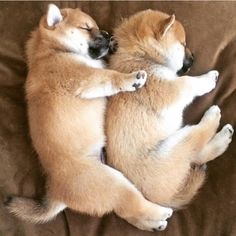 Shiba Inu puppies cuddling Love Shiba Inu s We do too Best Puppies, Cute Dogs And Puppies, Pet Dogs, Dog Cat, Doggies, Corgi Puppies, Weiner Dogs, Chien Akita Inu, Cute Baby Animals