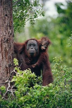 A female Sumatran orangutan with her baby in the trees Getty images