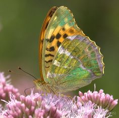 Silver-Washed Fritillary [Argynnis]; by Neil Bygrave