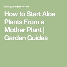 How to Start Aloe Plants From a Mother Plant |  Garden Guides