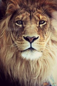 Lion of Judah tattoo I want to get