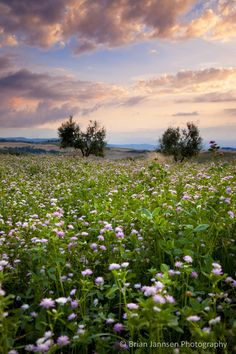 Field of wildflowers at sunset near Pienza, Tuscany Italy. © Brian Jannsen Photography