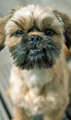 ... the Mixed Breed -- Dog Breed: Pug / Shih Tzu / Yorkshire Terrier